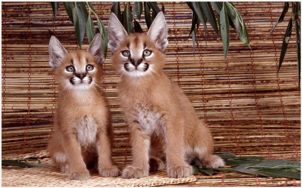 Caracal-Cute-Animals-caracal-cute-animals-1080p-caracal-cute-animals-wallpape-wallpaper-wpc5803266