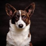 Cardigan-Welsh-Corgi-1080p-wallpaper-wp3803635