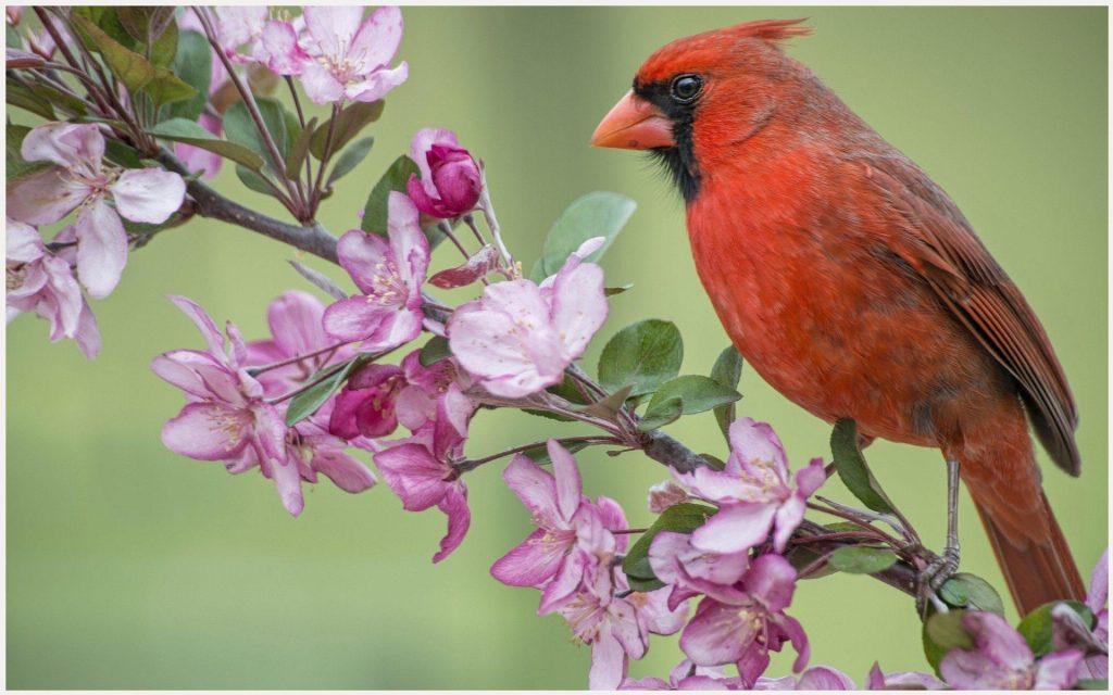 Cardinal-Bird-HD-cardinal-bird-hd-1080p-cardinal-bird-hd-desktop-c-wallpaper-wpc9003364