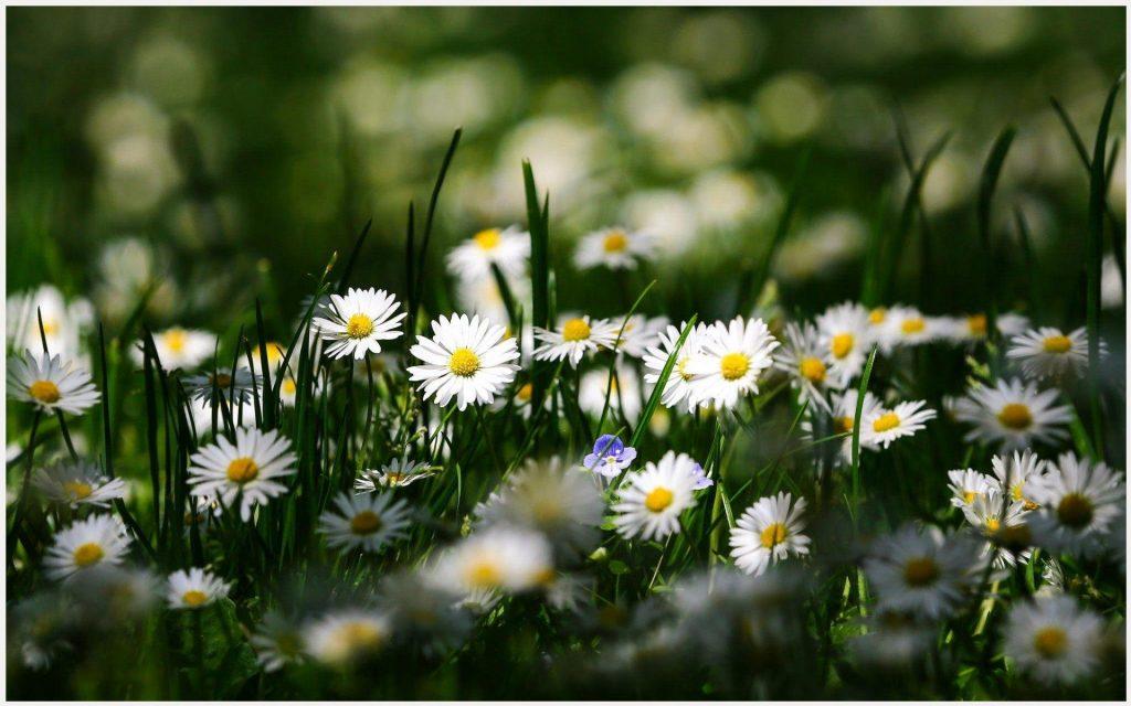Chamomile-Flowers-Garden-chamomile-flowers-garden-1080p-chamomile-flowers-gar-wallpaper-wpc5803348
