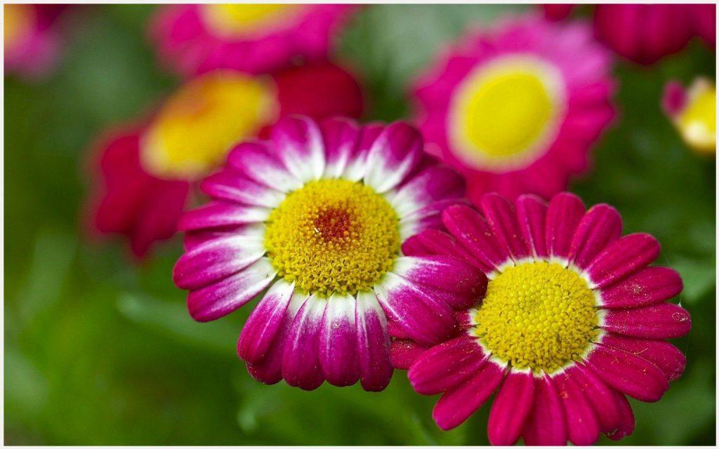 Chamomile-Red-Flowers-chamomile-red-flowers-1080p-chamomile-red-flowers-wallp-wallpaper-wpc5803350