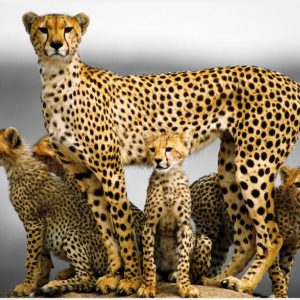 Cheetah-Animal-Family-cheetah-animal-family-1080p-cheetah-animal-family-wallp-wallpaper-wpc5803404