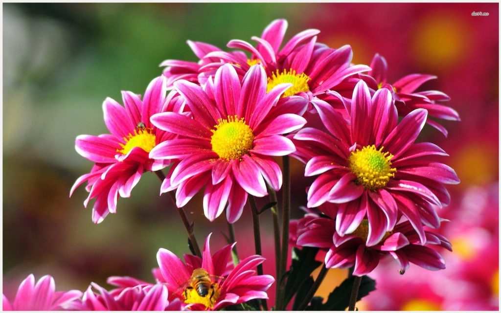 Chrysanthemums-Pink-Flowers-chrysanthemums-pink-flowers-1080p-chrysanthemums-wallpaper-wpc9003568