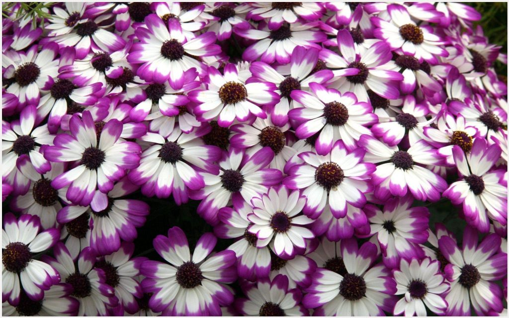 Cineraria-Purple-Flowers-cineraria-purple-flowers-1080p-cineraria-purple-flow-wallpaper-wpc5803493