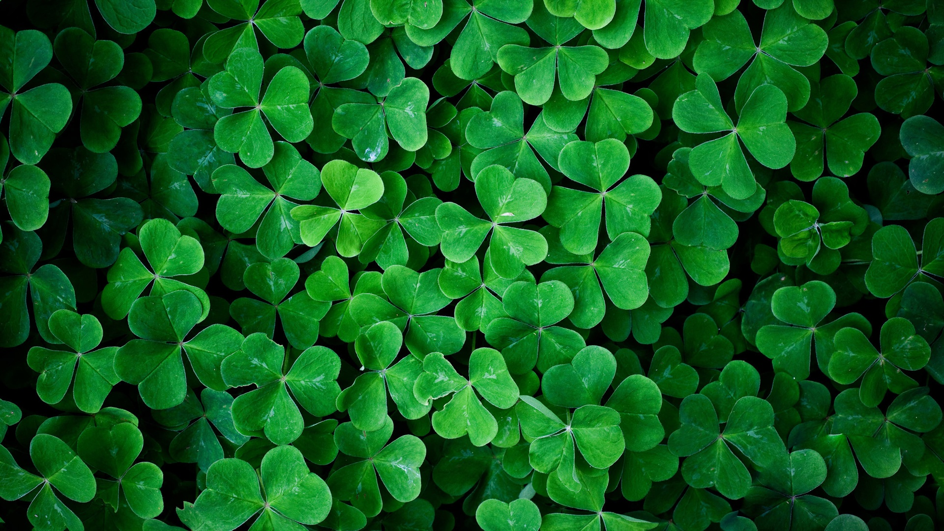 Clover-Leaves-St-Patrick-Day-wallpaper-wpc9003629