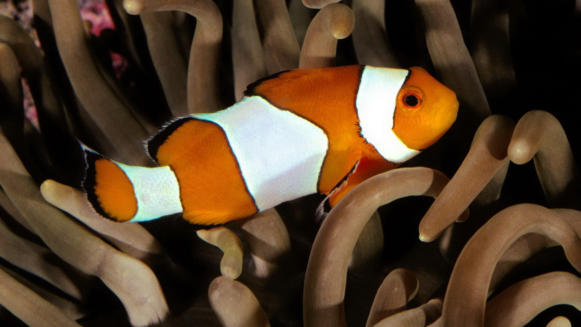 Clown-Fish-1080p-HD-wallpaper-wpc5803545