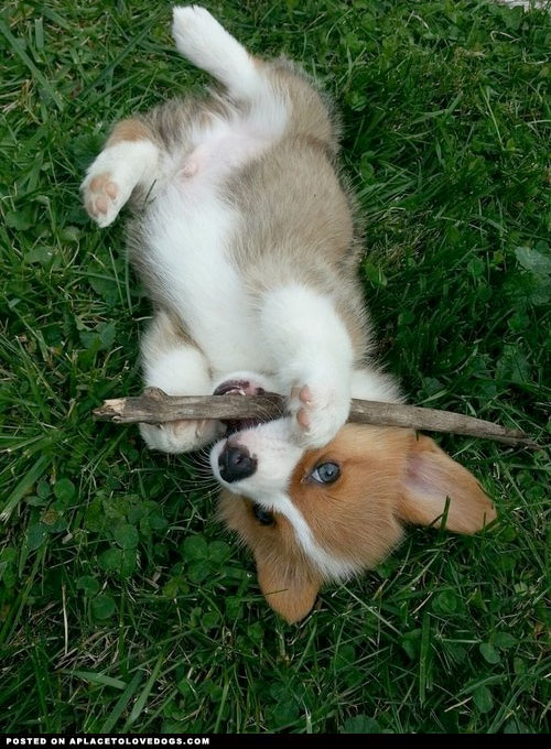 Corgi-Puppy-•-APlaceToLoveDogs-com-•-dog-dogs-puppy-puppies-cute-doggy-doggies-adorable-funny-fu-wallpaper-wp3804075