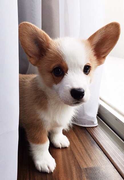 Corgi-Puppy-Corgis-puppies-dogs-wallpaper-wp3804076