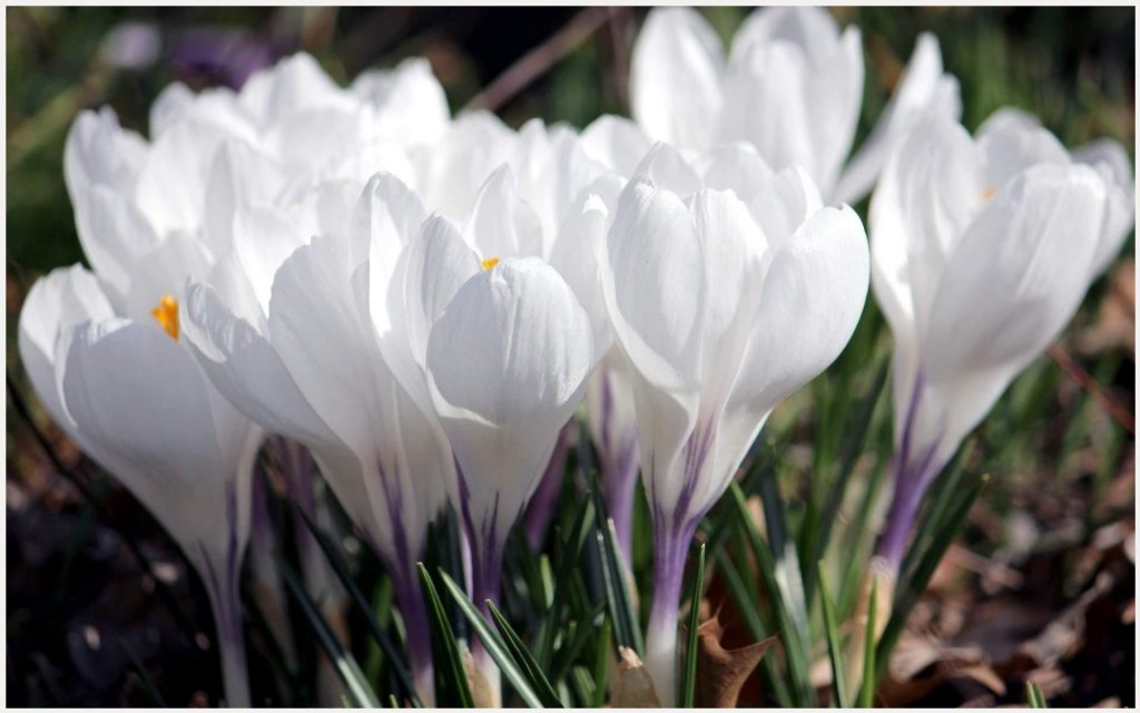 Crocus-White-Flowers-crocus-white-flowers-1080p-crocus-white-flowers-wallpape-wallpaper-wpc5803798