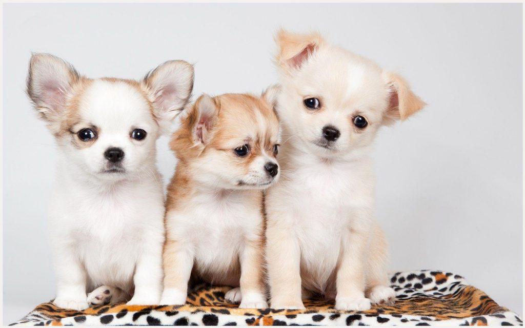 Cute-Puppies-cute-puppies-cute-puppies-1080p-cute-puppies-wallpape-wallpaper-wp3804265