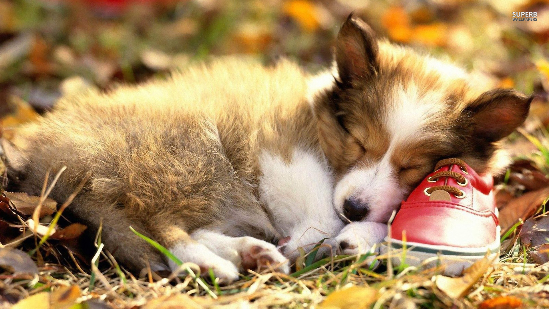 Cute-Welsh-Corgi-Puppy-Desktop-a-1920x1080-px-KB-Animal-x-1920x1080-black-wallpaper-wp3804272