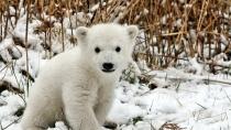 Download-1080x1920-bear-polar-bear-snow-lie-waiting-Sony-Xperia-Z-ZL-Z-Samsung-Gal-wallpaper-wp3605080