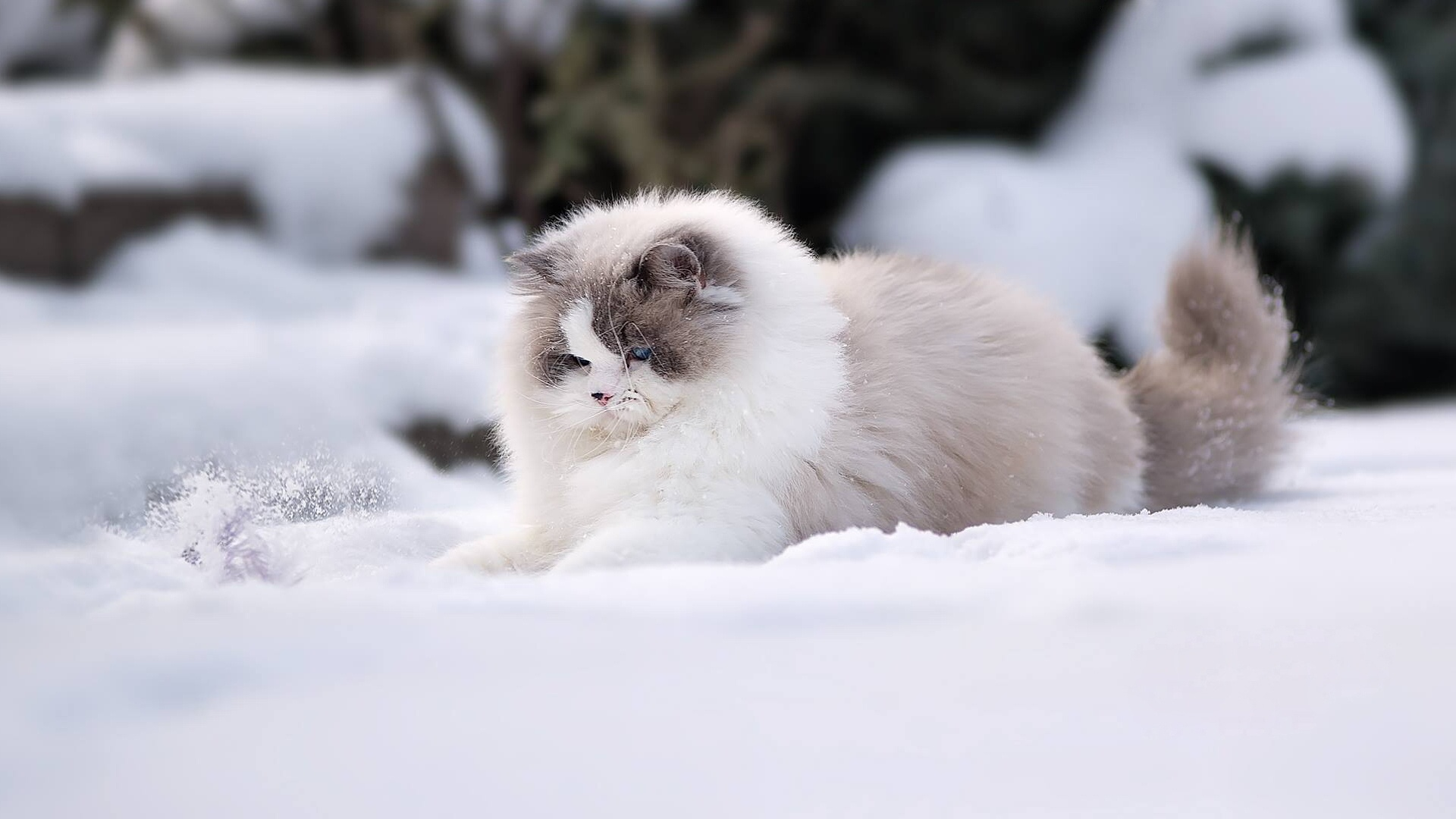 Download-Ragdoll-snow-winter-fluffy-cat-section-cats-in-resolution-1920x1080-wallpaper-wpc5804376