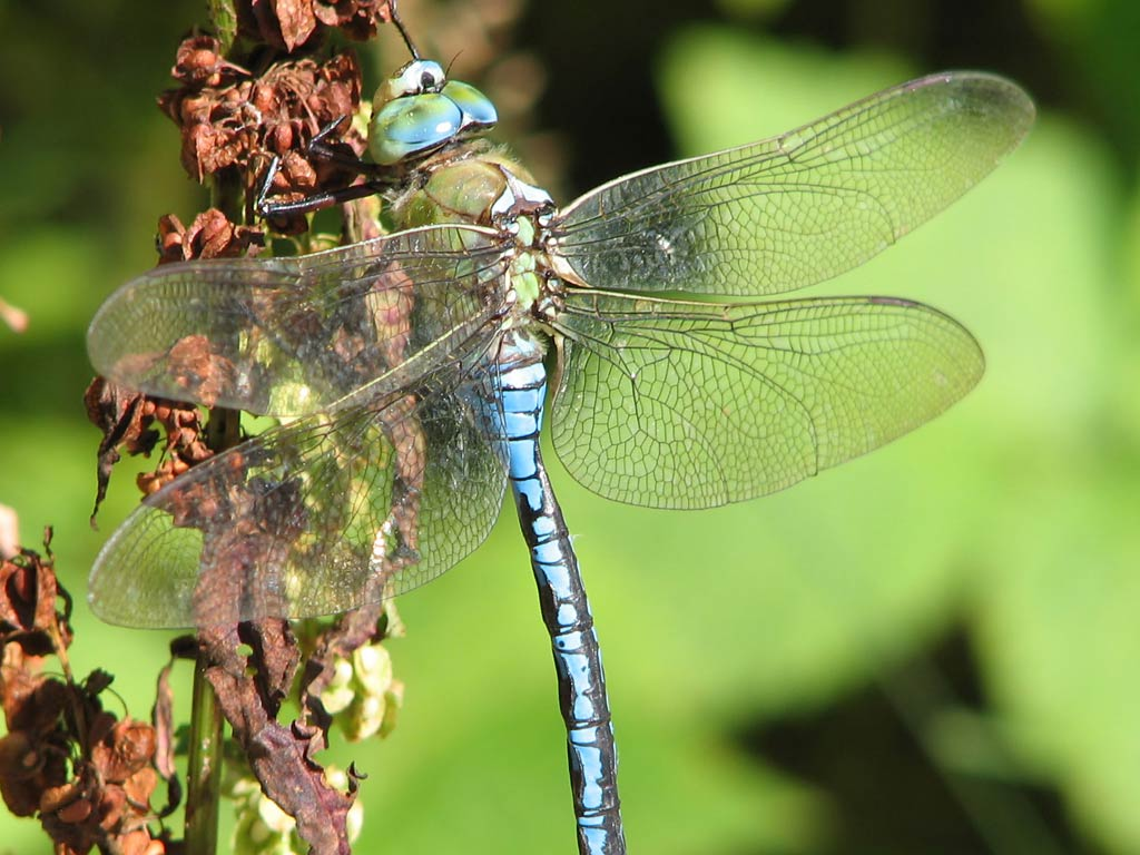 Dragonfly-blue-wings-macro-HD-background-Dragonfly-1366×768-Dragonfly-wallpaper-wp38011713
