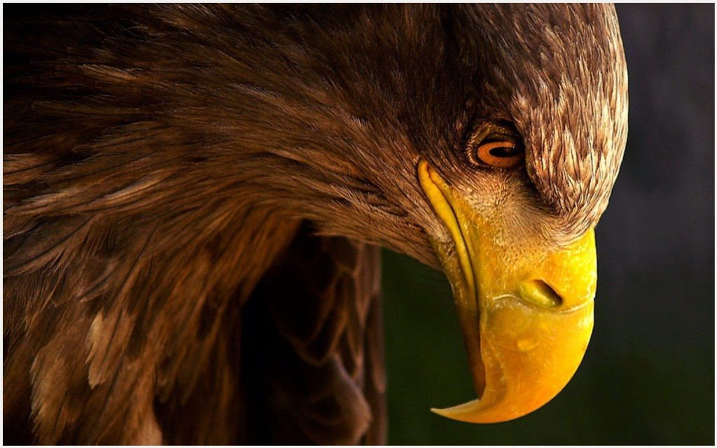 Eagle-Head-HD-eagle-head-hd-1080p-eagle-head-hd-desktop-eagle-head-wallpaper-wp3605287