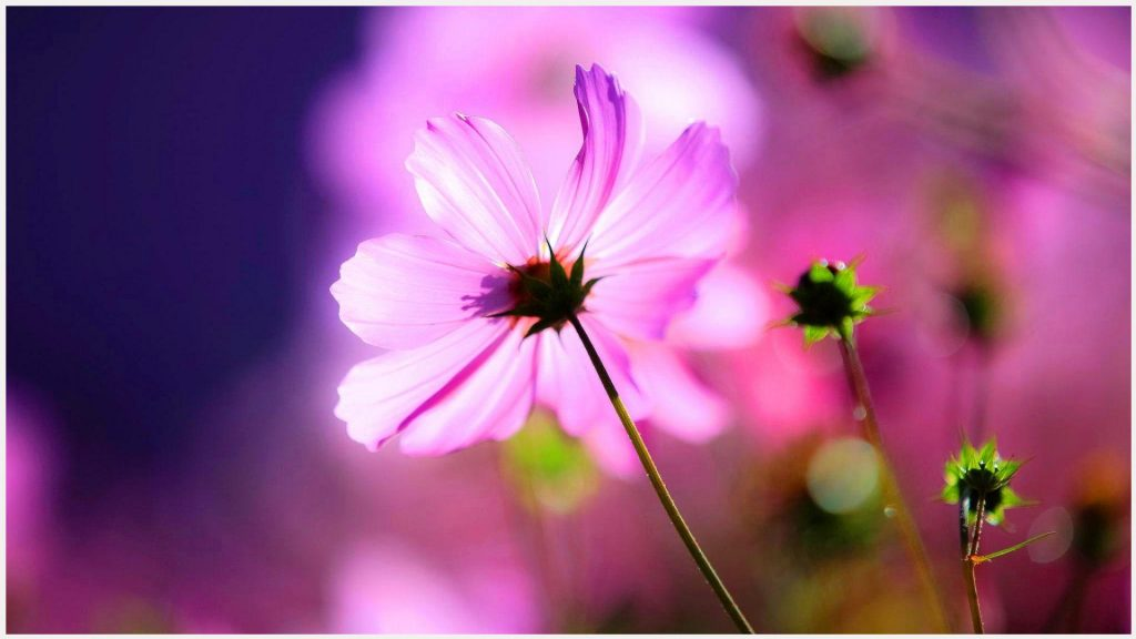 Flower-Bud-Of-Cosmos-Flower-flower-bud-of-cosmos-flower-1080p-flower-bud-of-c-wallpaper-wp3805368