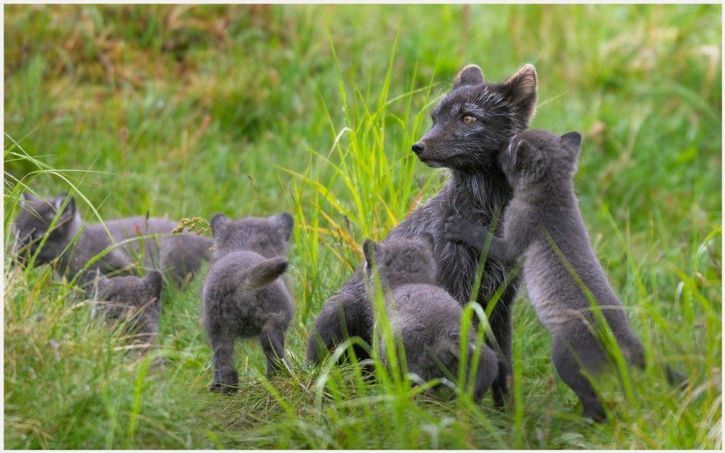 Fox-Family-Of-Arctic-Fox-fox-family-of-arctic-fox-1080p-fox-family-of-arctic-wallpaper-wpc5804955