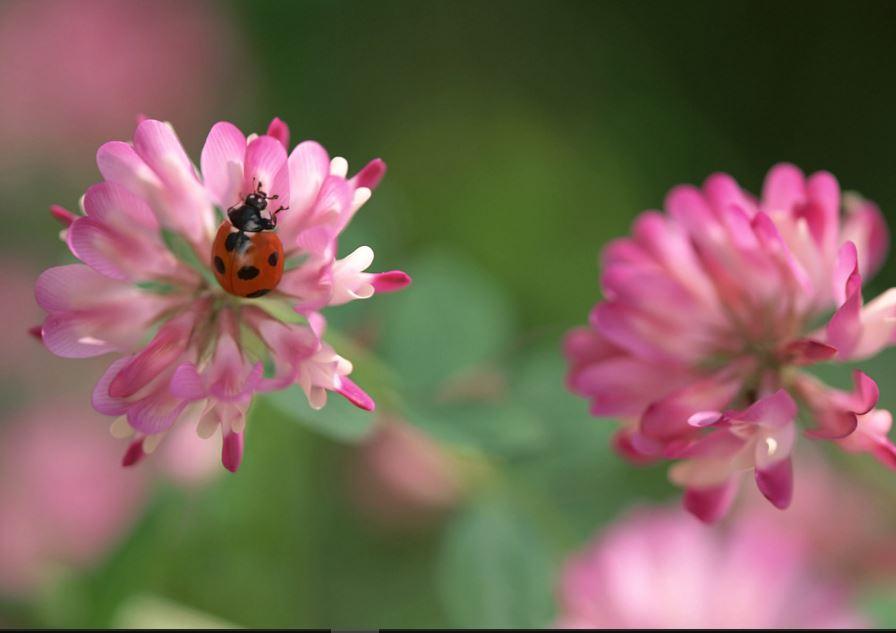 Full-HD-1080p-Ladybug-wallpaper-wp3805687