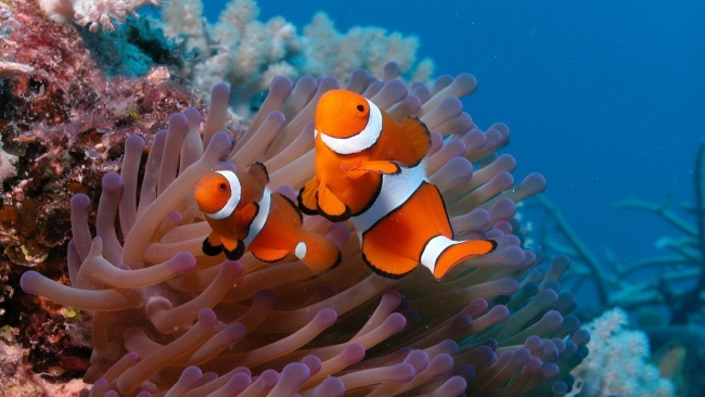Full-HD-anemonefish-underwater-exotic-fish-Desktop-Backgrounds-HD-1080p-wallpaper-wpc5805235