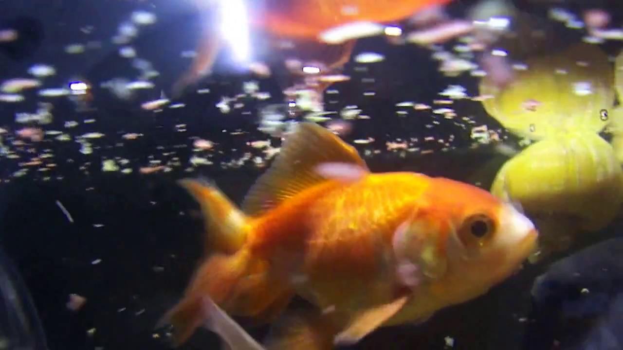 Gold-Fish-Feedingfish-tank-hd-fish-tank-hd-Fish-FishTank-TropicalFish-Fi-wallpaper-wpc5805435