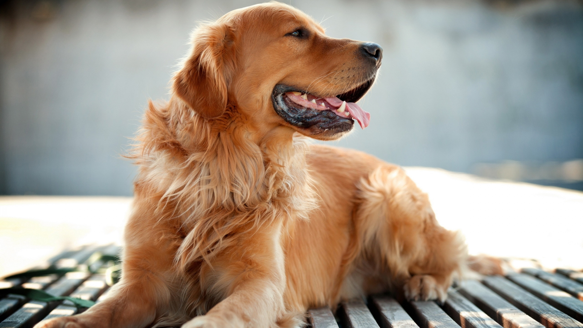 Golden Retriever Wallpaper Page 2 Of 3 Downloadwallpaper Org