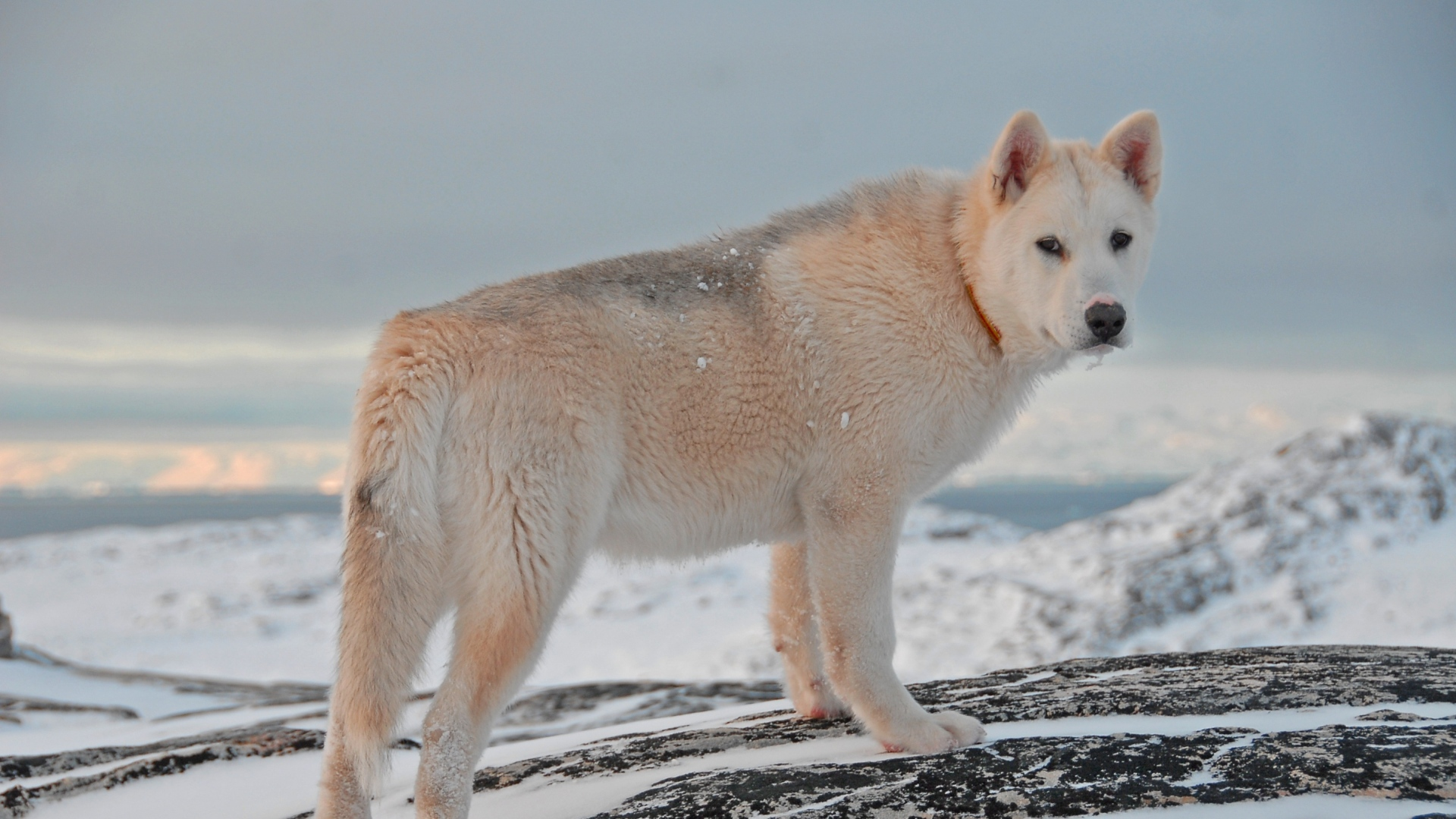 Greenland-Dog-Snow-Hd-1920x1080-Need-iPhone-S-Plus-Background-for-IPho-wallpaper-wpc5805588