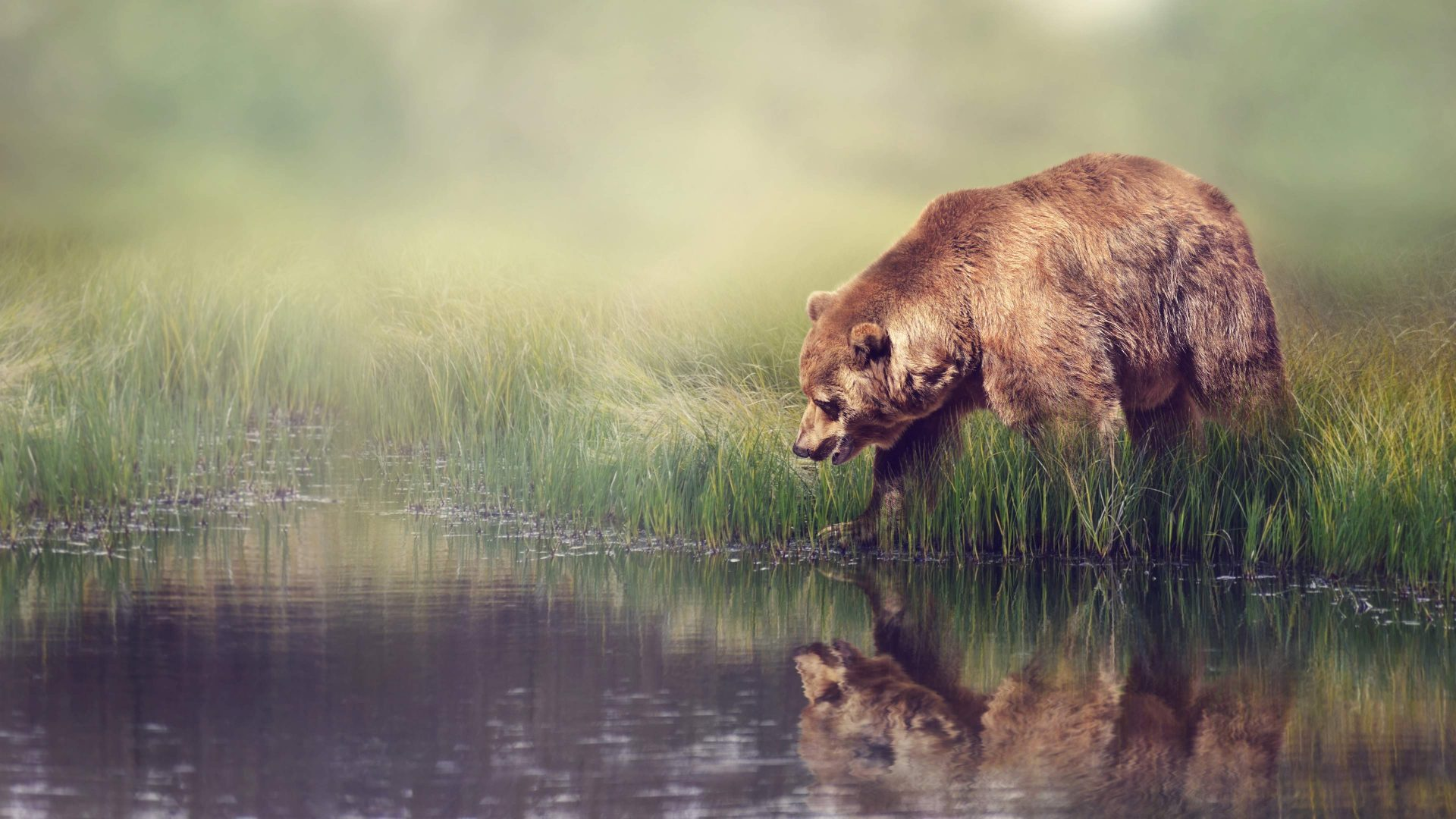 Grizzly-Bear-and-Reflection-1920x1080-See-more-on-Classy-Bro-wallpaper-wpc5805598
