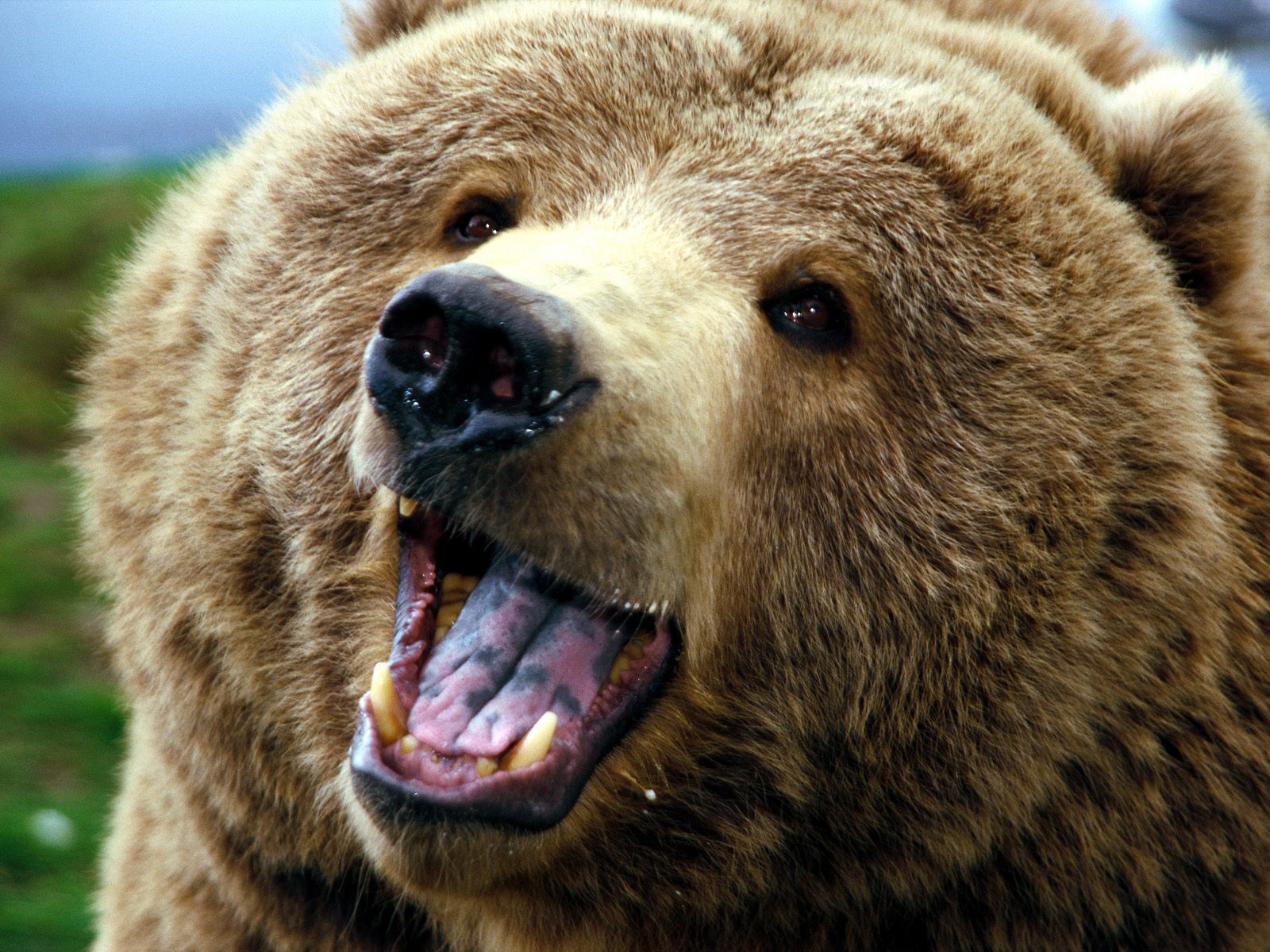 Grizzly-bear-I-like-him-he-seems-like-hes-smiling-Grizzly-bears-are-awesomely-powerful-intellig-wallpaper-wpc5805603