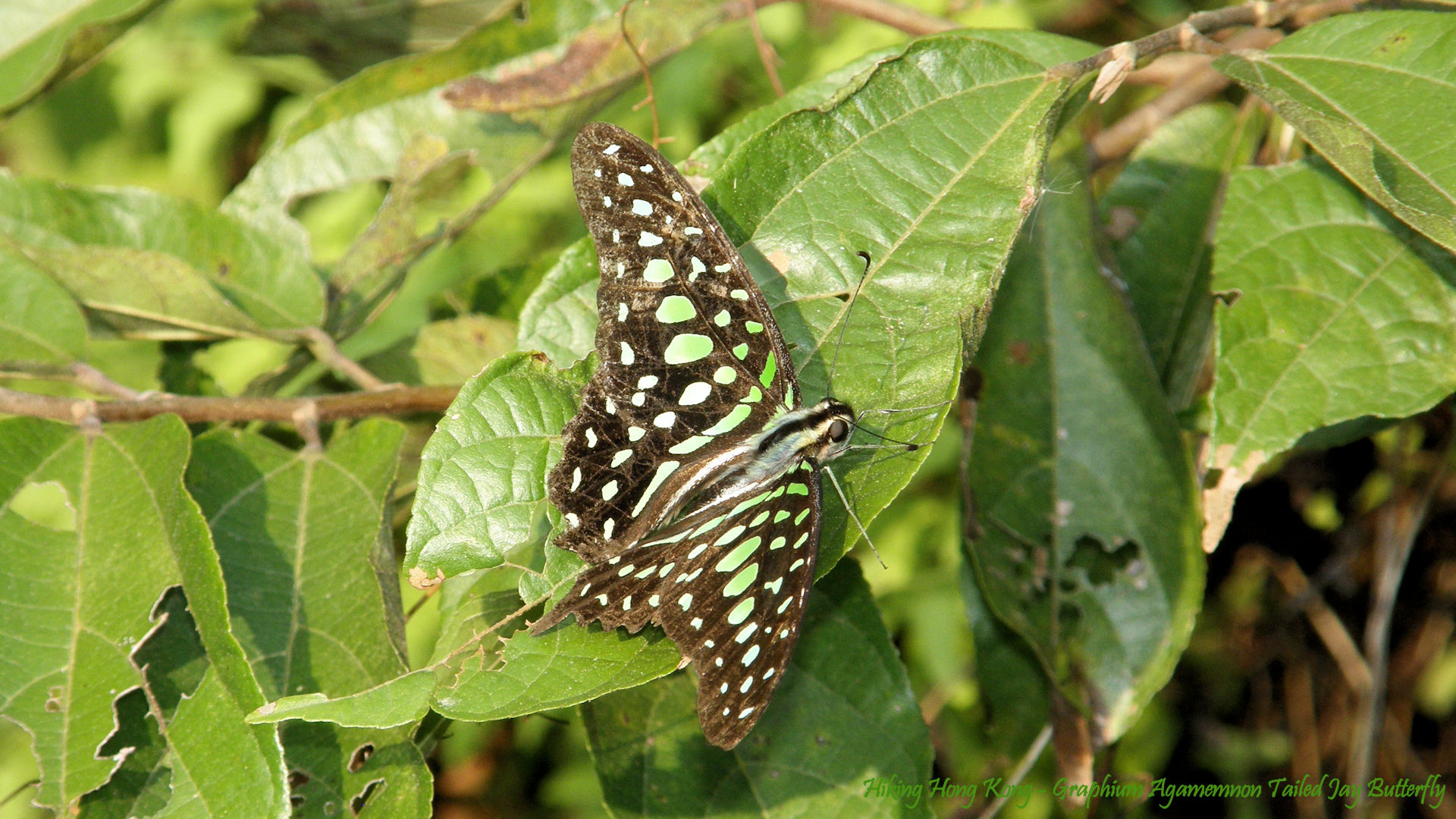 Hong-Kong-Butterfly-Graphium-Agamemnon-Tailed-Jay-Butterfly-Hiking-Hong-Kong-wallpaper-wpc5805977