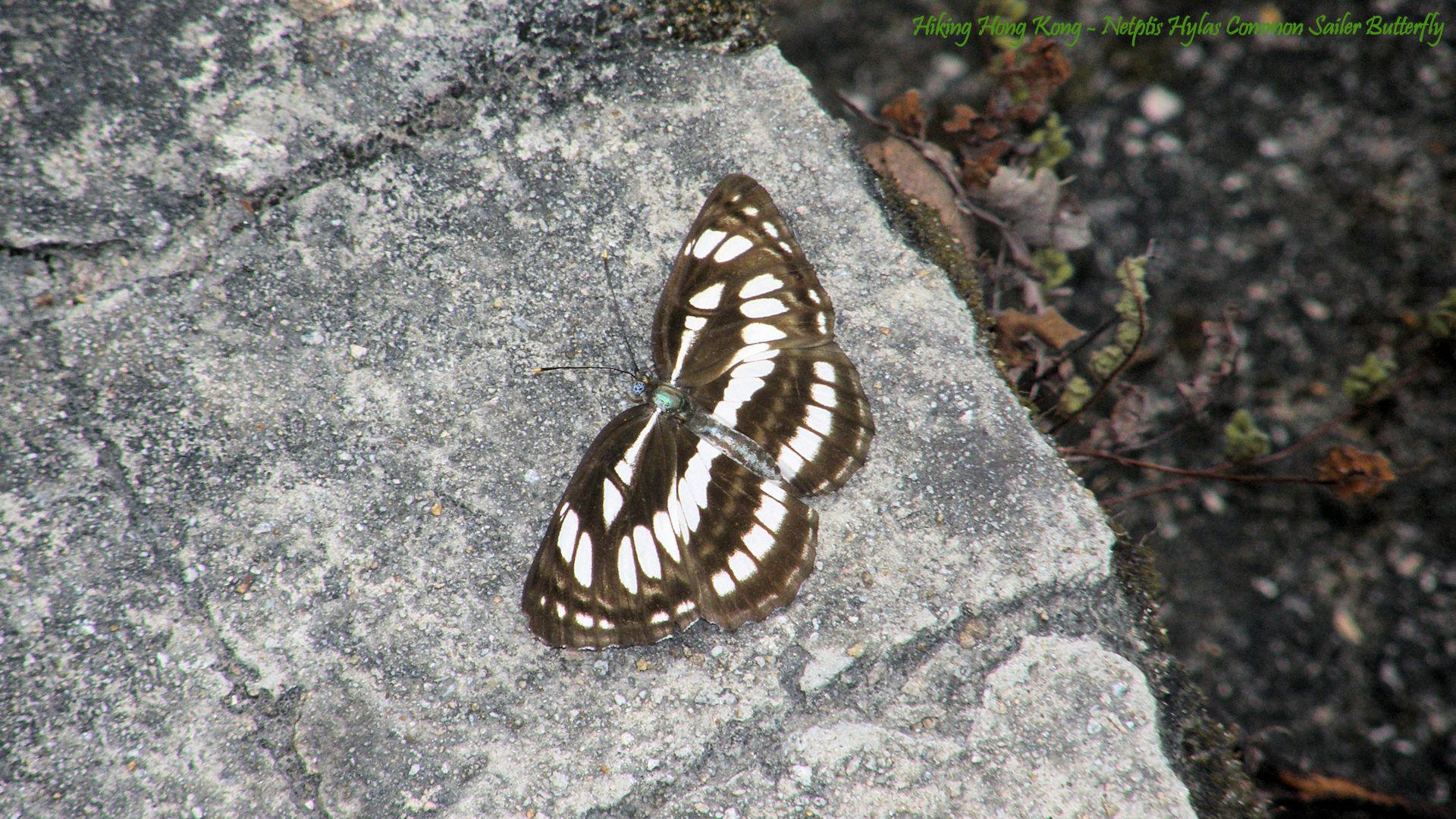 Hong-Kong-Butterfly-Netptis-Hylas-Common-Sailer-Butterfly-Hiking-Hong-Kong-wallpaper-wpc5805981