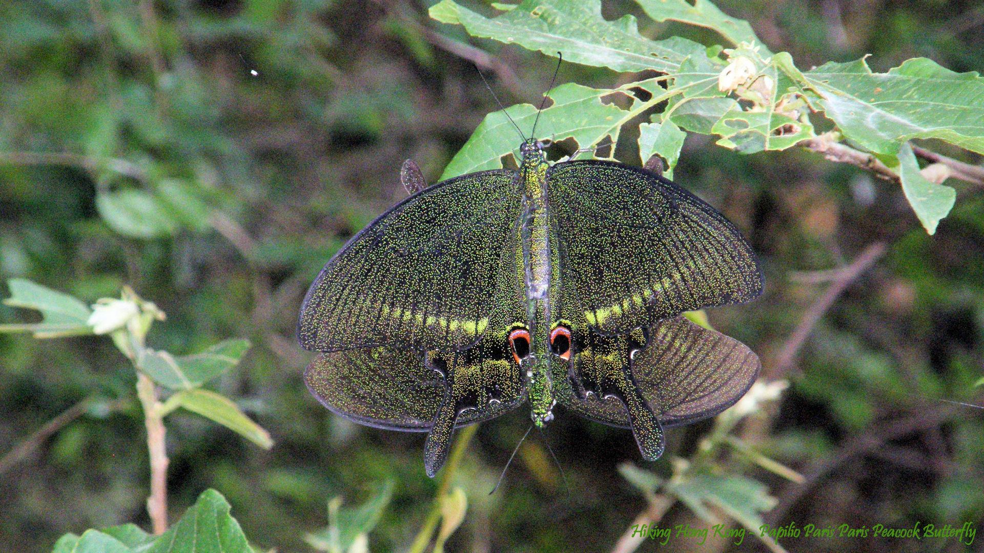 Hong-Kong-Butterfly-Papilio-Paris-Peacock-Butterfly-Hiking-Hong-Kong-wallpaper-wpc5805982