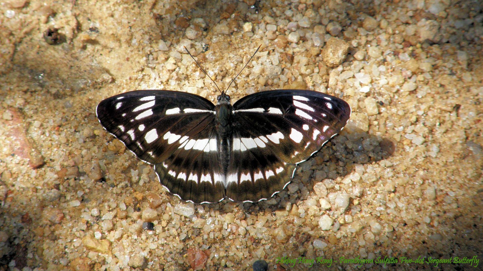 Hong-Kong-Butterfly-Parathyma-Sulpitia-Five-dot-Sergeant-Butterfly-Hiking-Hong-Kong-wallpaper-wpc5805984