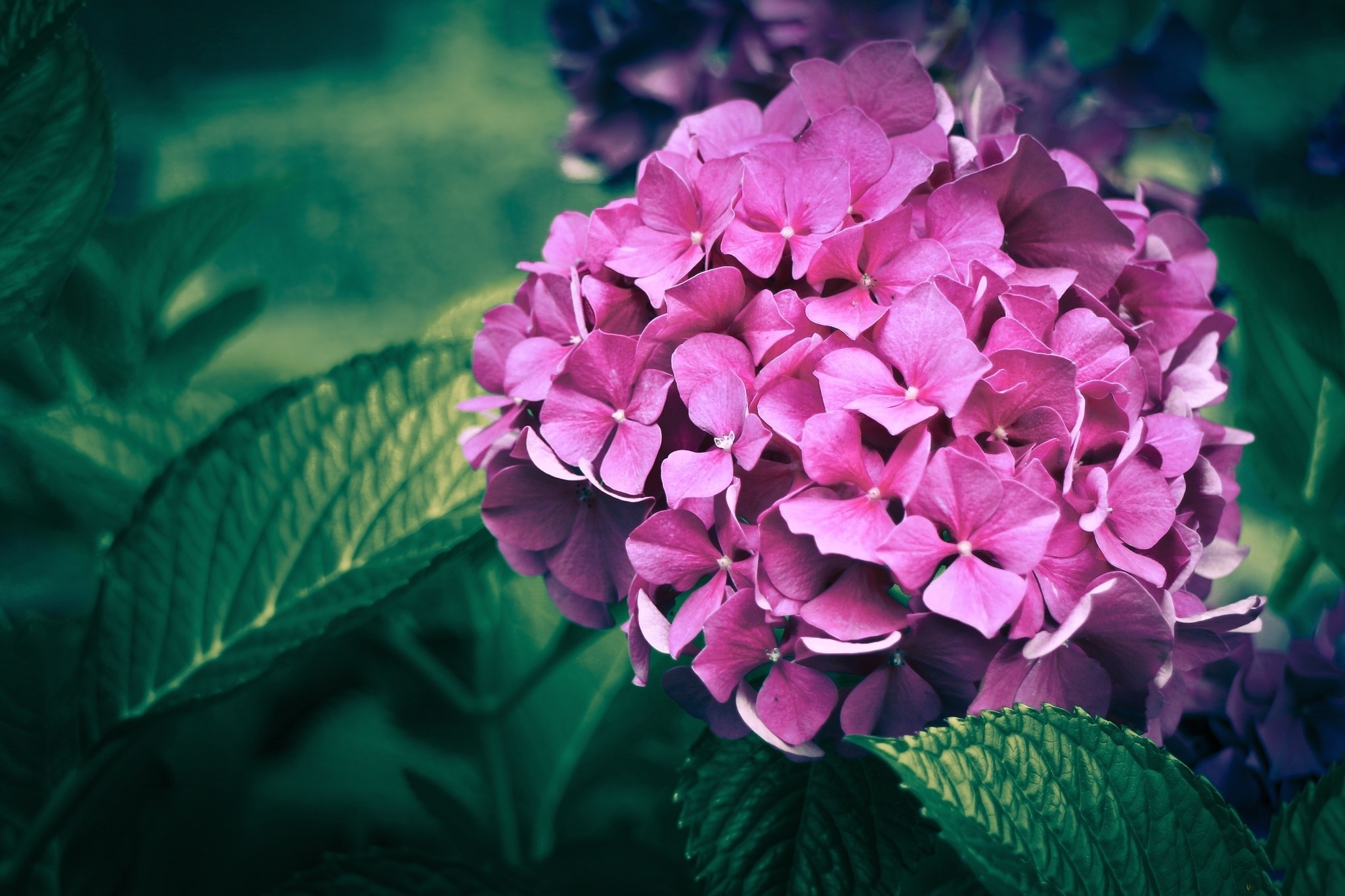 Nature-Flower-Flowers-Hydrangea-Pink-For-Android-Flowers-Nature-Flower-Flowers-Hydrange-wallpaper-wp3608895