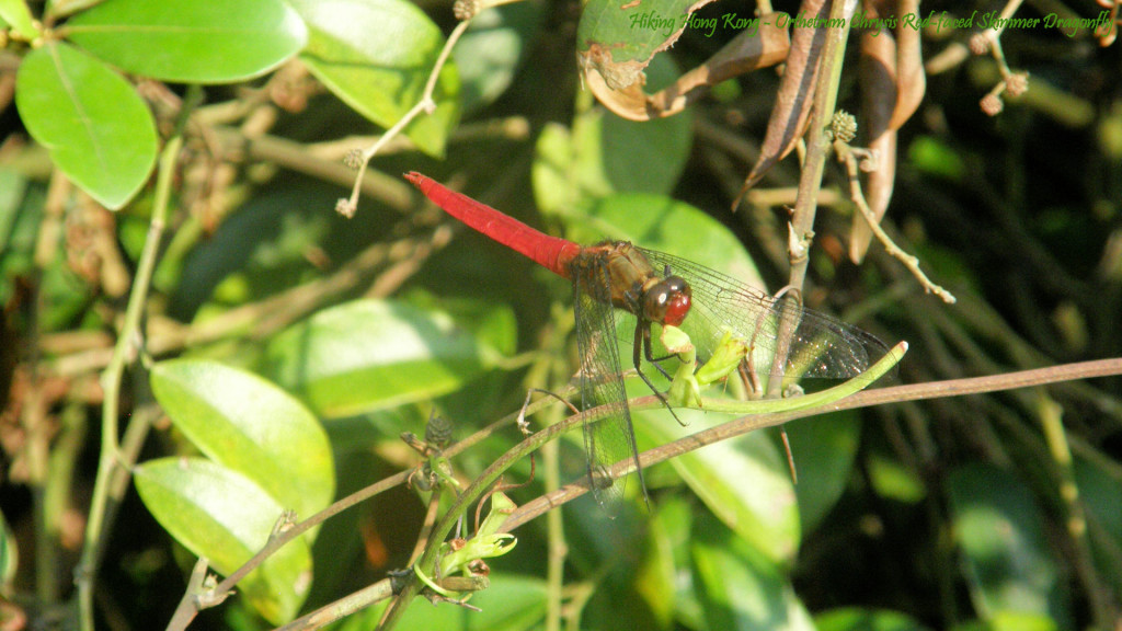 Orthetrum-Chrysis-Red-faced-Skimmer-Dragonfly-wallpaper-wp3808927