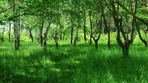 Preview-birches-young-summer-grass-green-avenue-1920x1080-wallpaper-wpc9008649