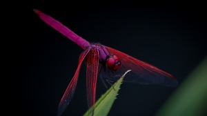 Preview-dragonfly-trithemis-aurora-insect-1920x1080-wallpaper-wp3809423
