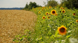 Preview-sunflowers-ears-summer-fields-border-1920x1080-wallpaper-wpc9008658