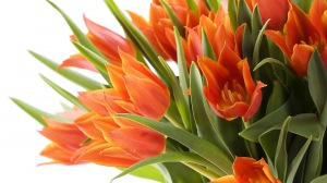 Preview-tulips-bouquet-close-up-spring-white-background-1920x1080-wallpaper-wp3809521