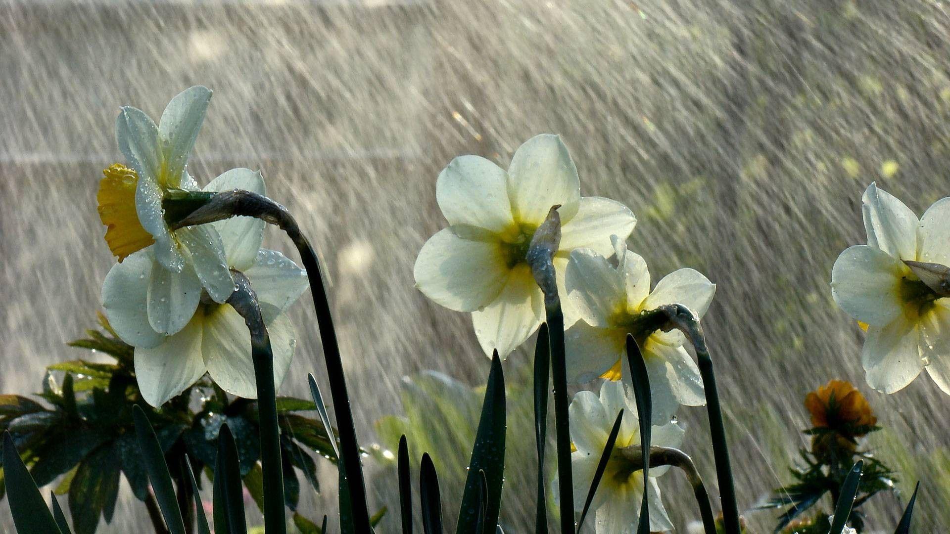 Spring-Rain-High-Quality-wallpaper-wpc5808970