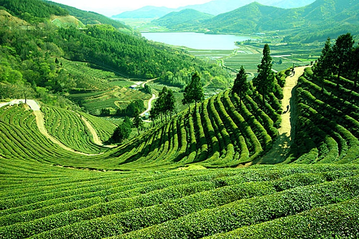 The-bumpy-green-hills-of-Darjeeling-India-where-you-guessed-it-darjeeling-tea-comes-from-wallpaper-wpc5809338