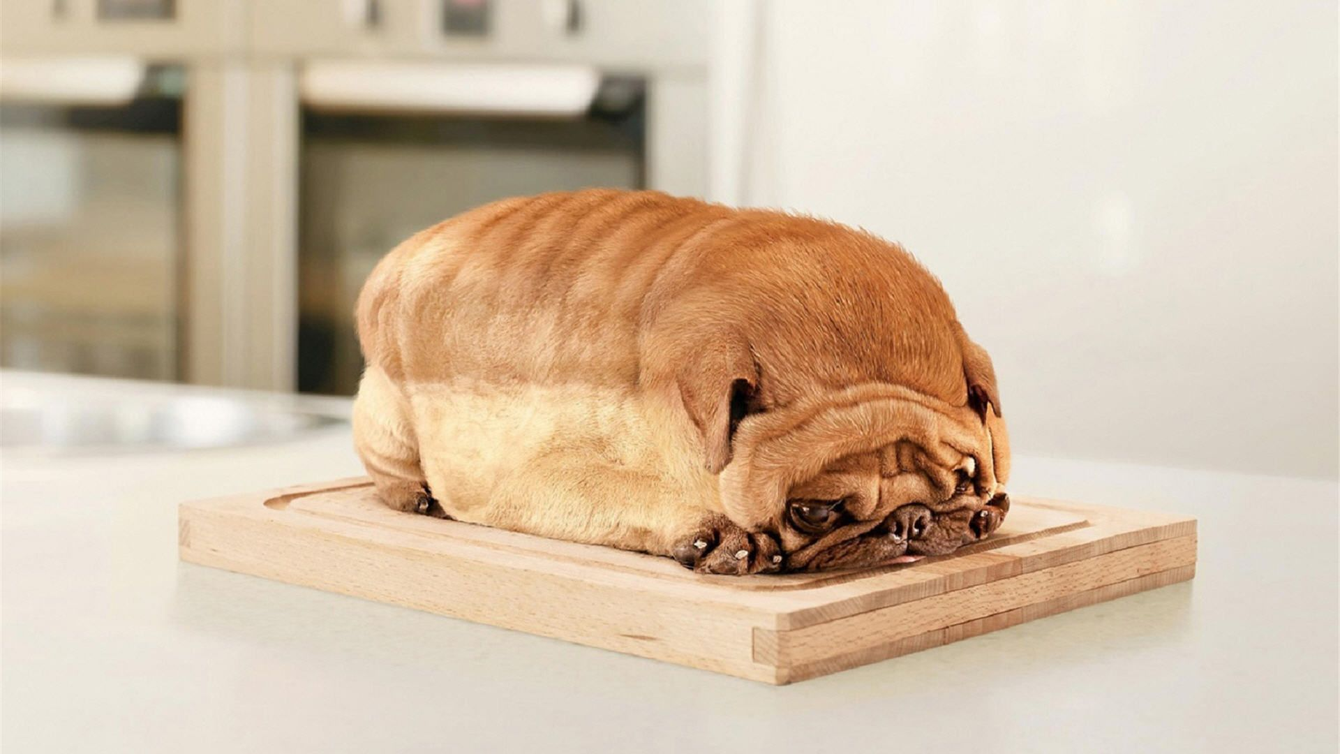 This-pug-who-is-bread-wallpaper-wp38011115