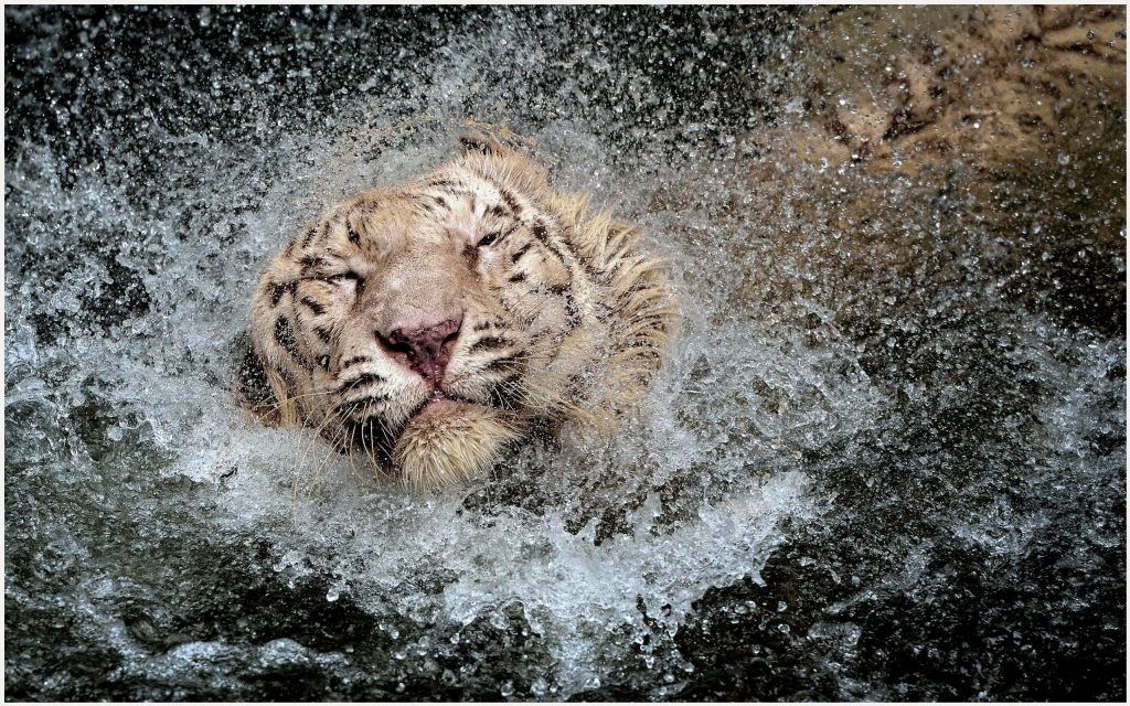 Tiger-In-Water-Splash-HD-tiger-in-water-splash-hd-1080p-tiger-in-water-splash-wallpaper-wpc9009988