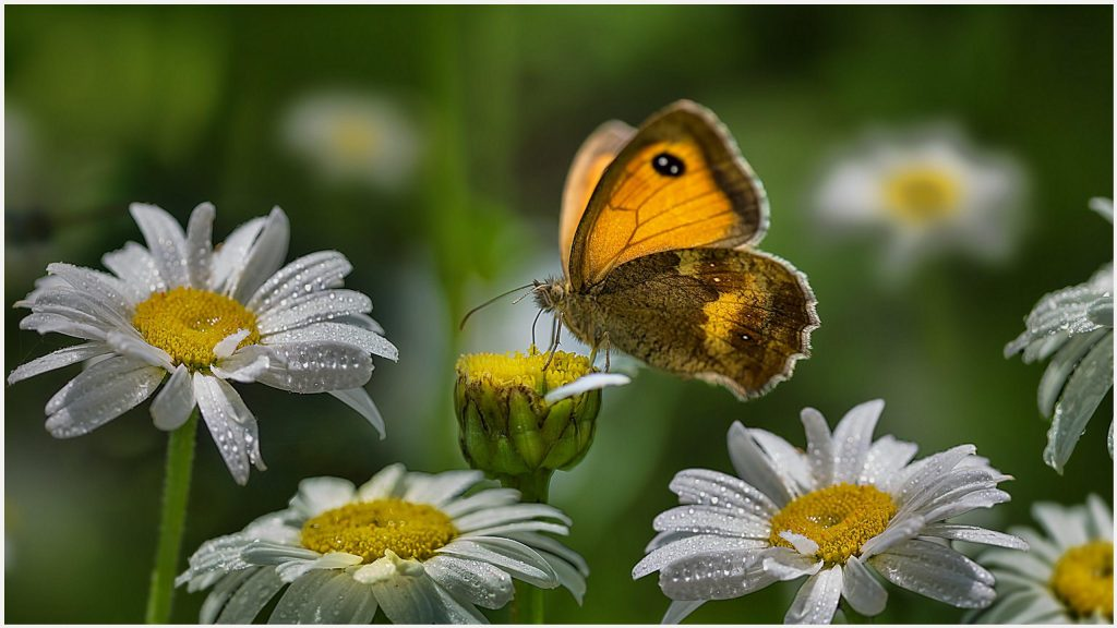 White-Flowers-And-Yellow-Butterfly-white-flowers-and-yellow-butterfly-1080p-w-wallpaper-wp38012013