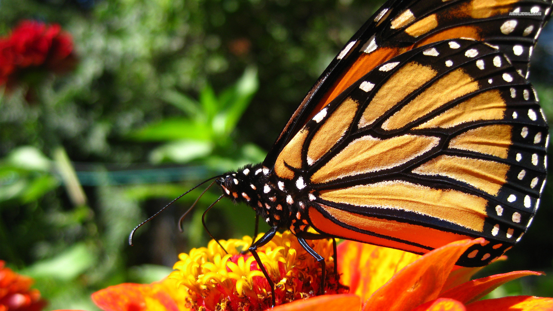 Wonderful-Monarch-Butterfly-Yellow-Flowers-Outdoor-Picture-HD-PC-Widescreen-wallpaper-wpc58010408
