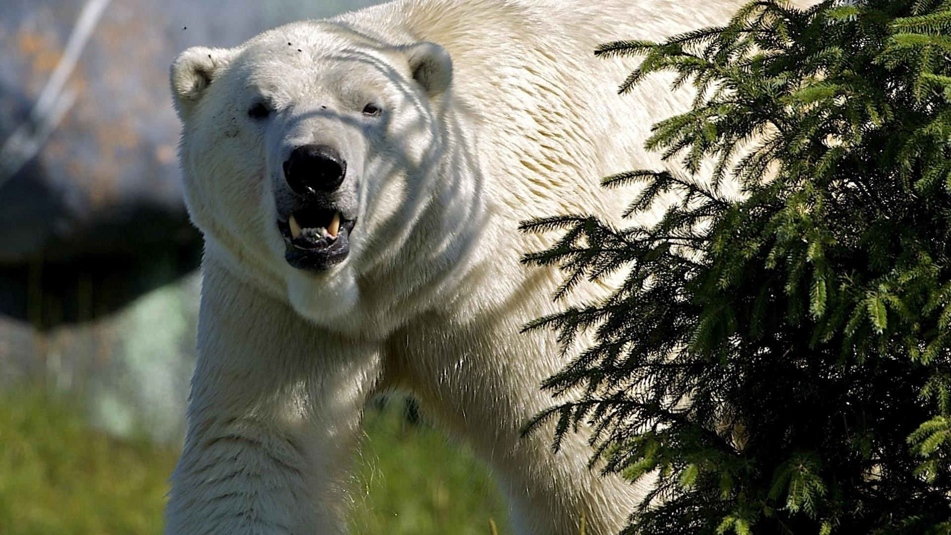 angry-polar-bear-hd-1920×1080-wallpaper-wp3601121
