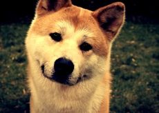 animals-dogs-shiba-inu-1920x1080-wallpaper-wpc9002234