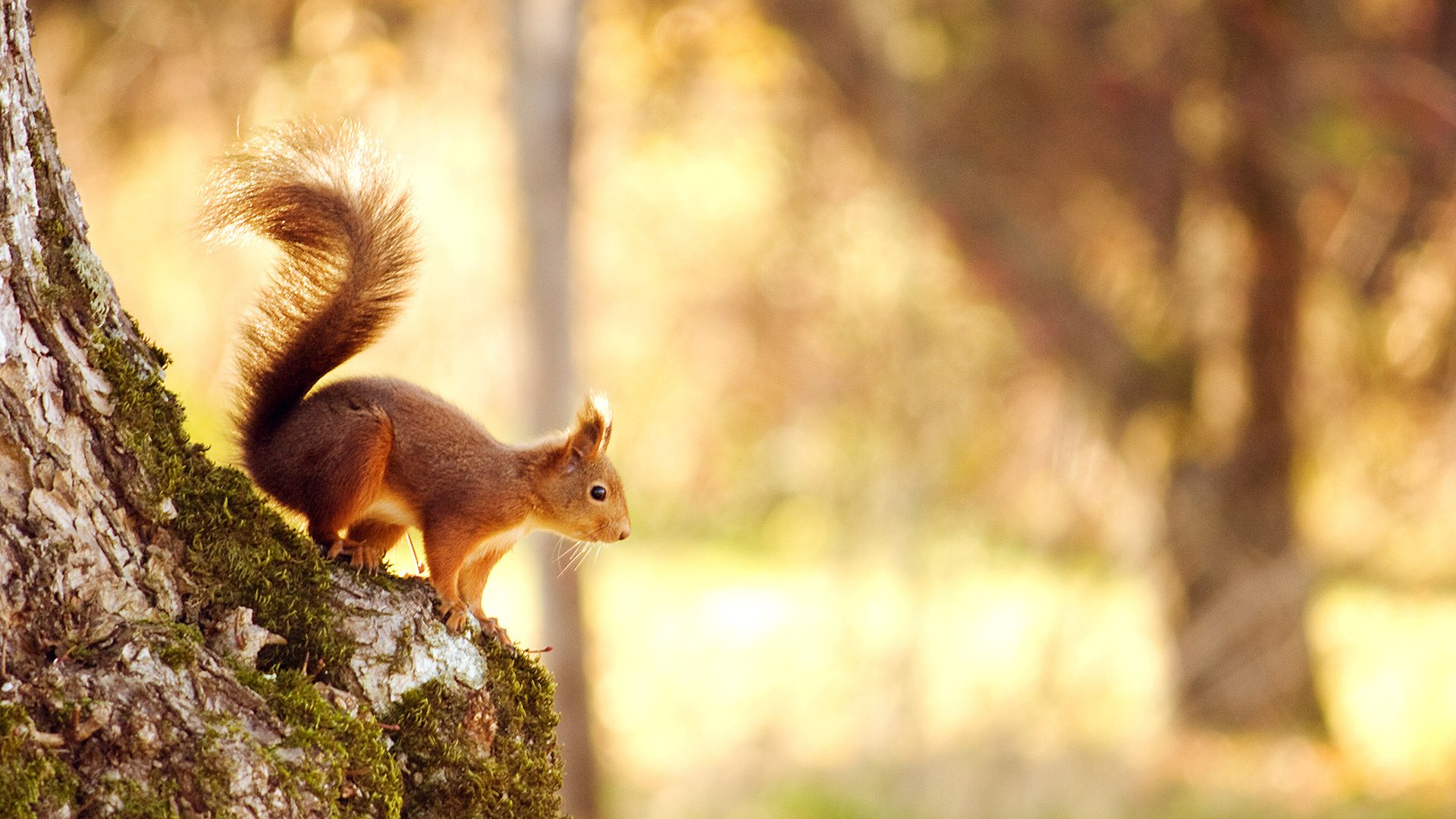 animals-squirrel-nutlet-cute-forest-1920×1080-wallpaper-wpc9002239