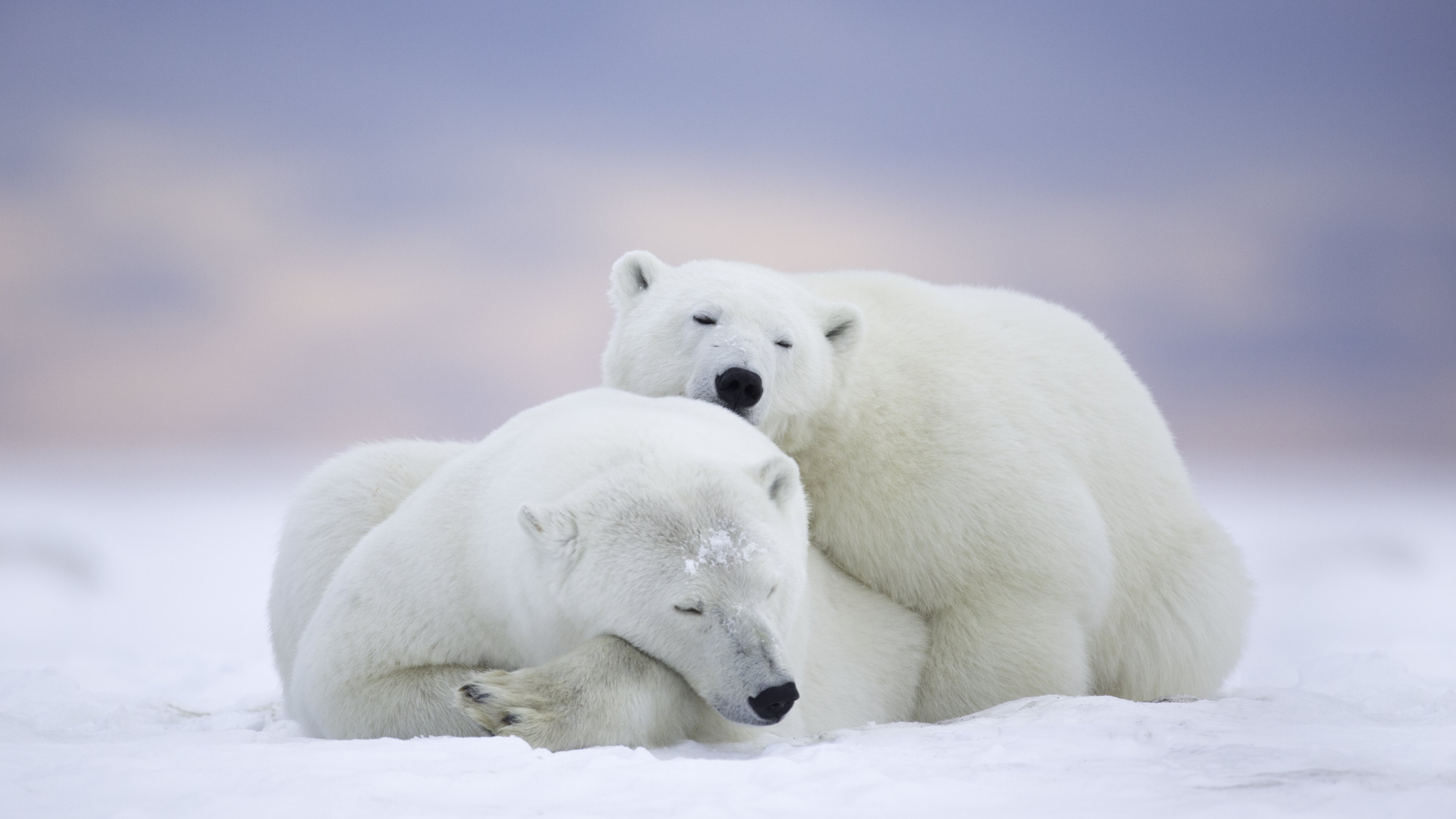 awesome-Polar-Bear-In-HD-wallpaper-wp3602866