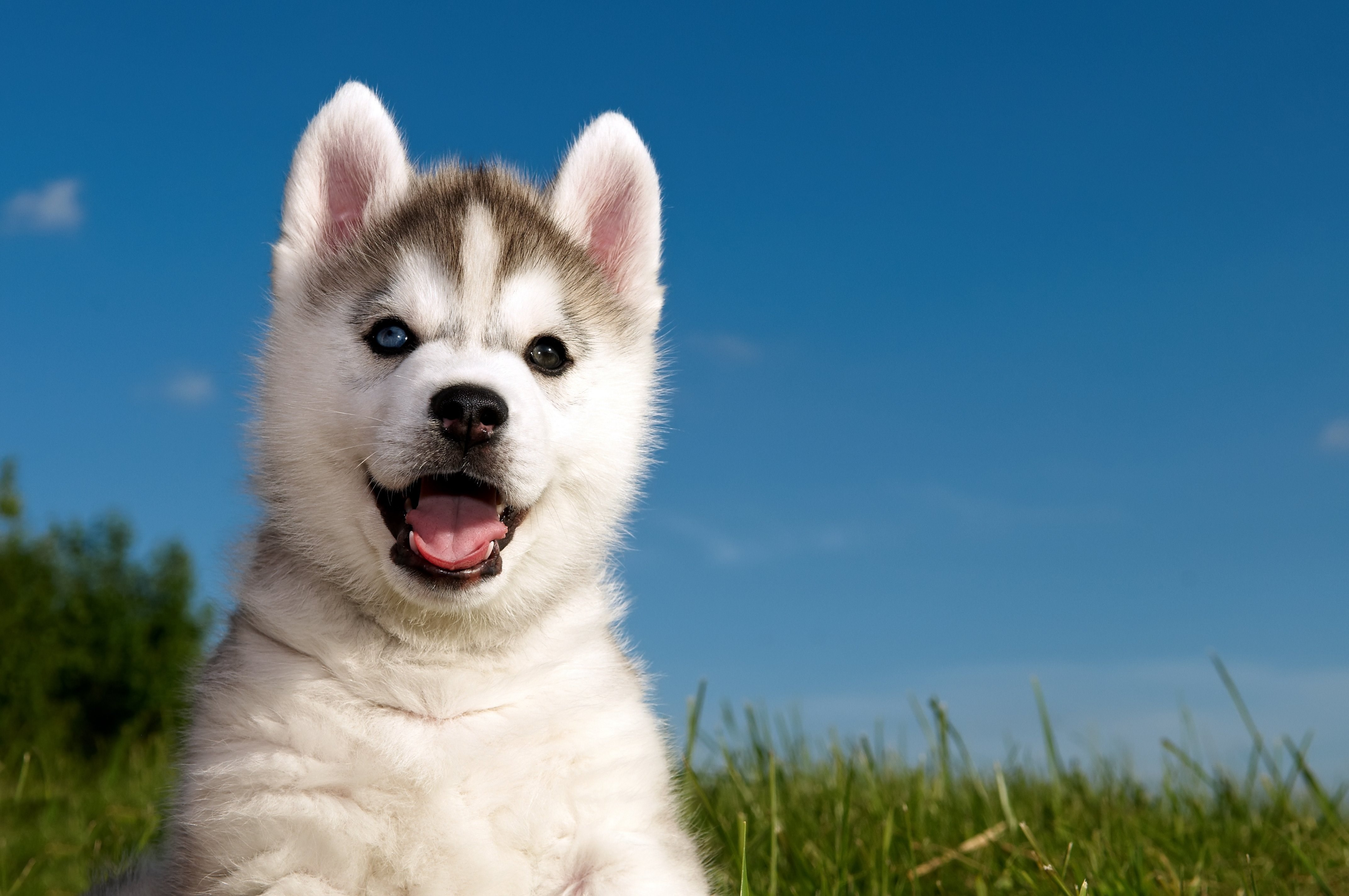 baby-husky-full-hd-Lowell-Allford-x-wallpaper-wpc5802464