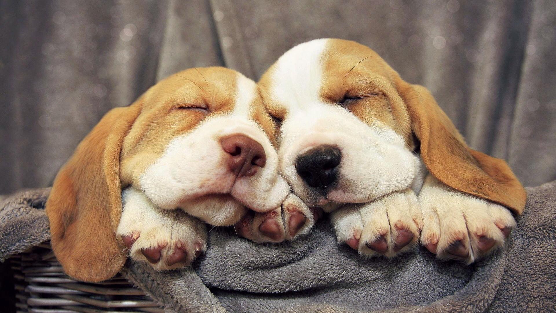 beagle-puppies-1920x1080-mr-com-wallpaper-wpc5802608